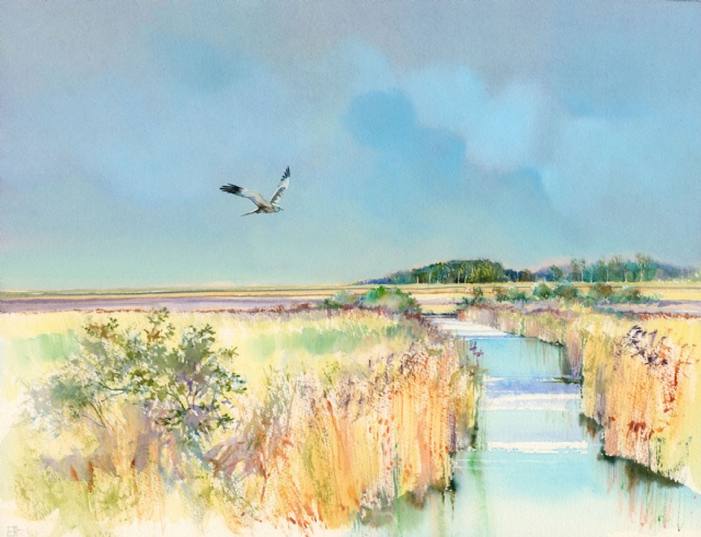 [Hunting Harrier, Titchwell Marsh]